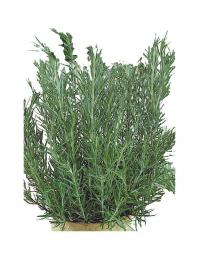 Rosemary Rosemary is an attractive evergreen shrub with pine needle-like leaves. In cold climate it
